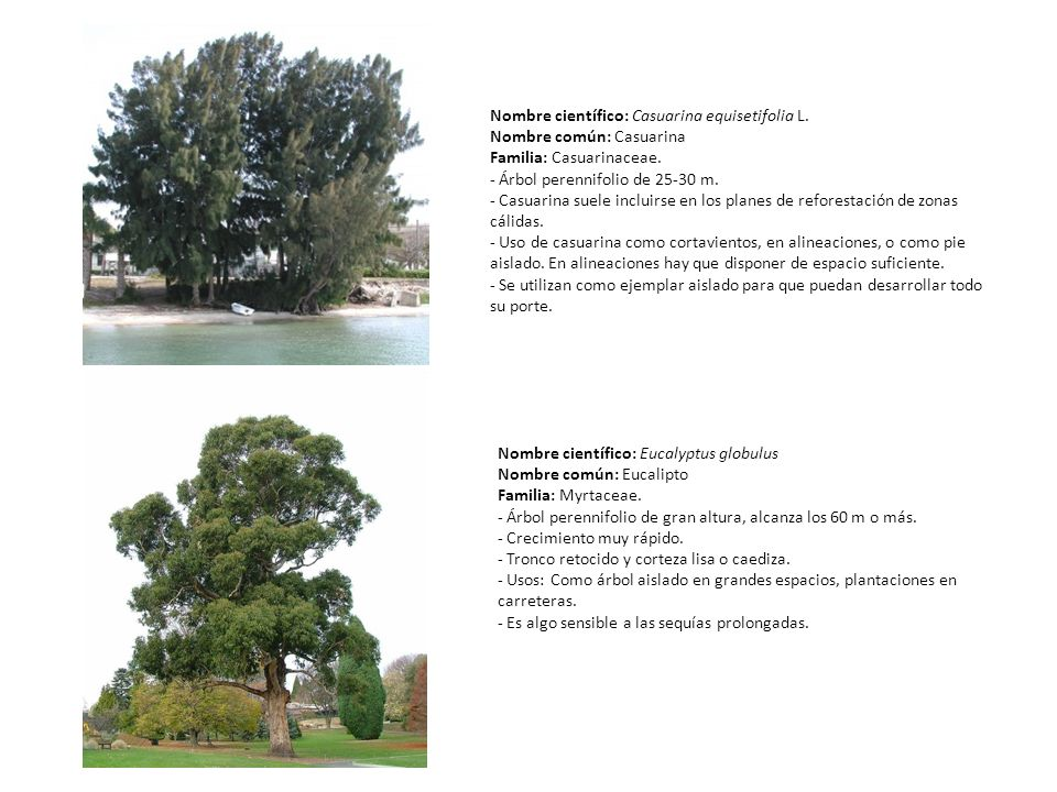 Nombre científico: Casuarina equisetifolia L.