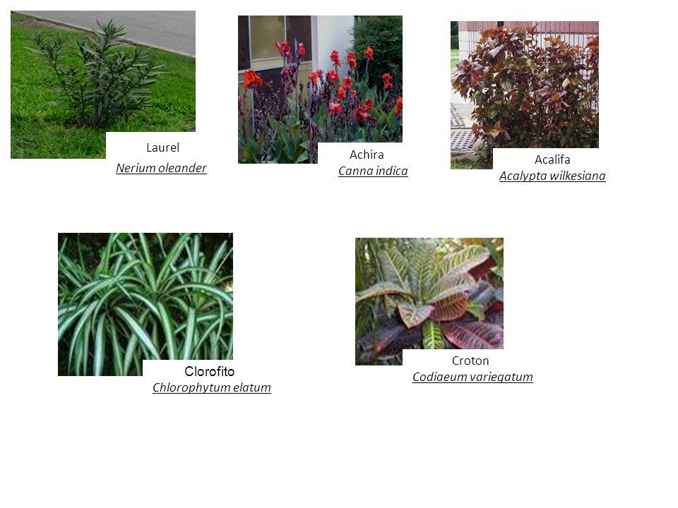 Nerium oleander Achira Acalifa Canna indica Acalypta wilkesiana Croton