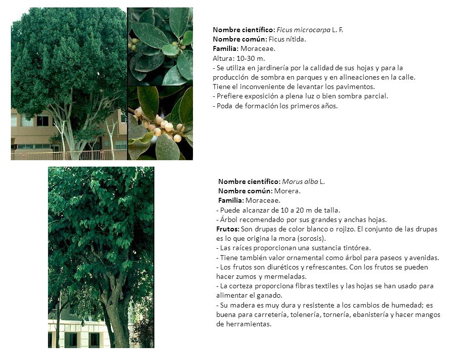 Nombre científico: Ficus microcarpa L. F.