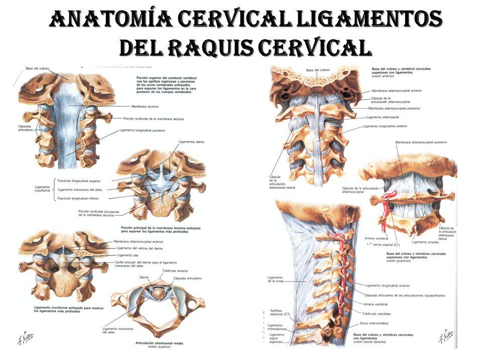 Vistoso Cervicales Anatomía Fotos Elaboración - Anatomía de Las ...
