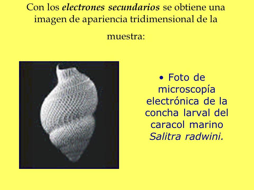 Con los electrones secundarios se obtiene una imagen de apariencia tridimensional de la muestra: