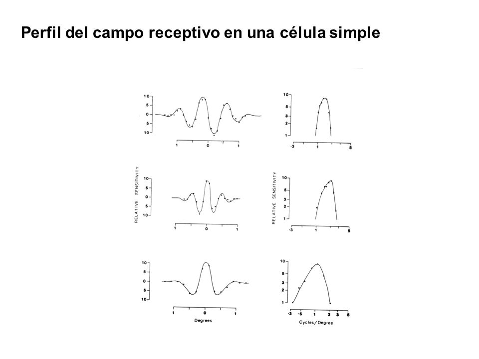 Perfil del campo receptivo en una célula simple