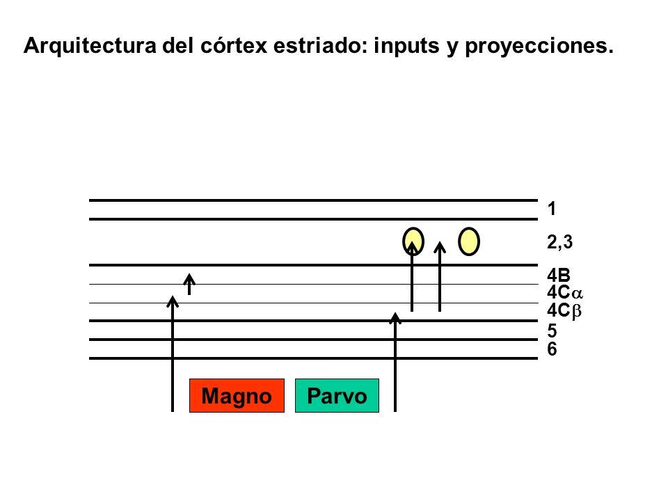 Arquitectura del córtex estriado: inputs y proyecciones.