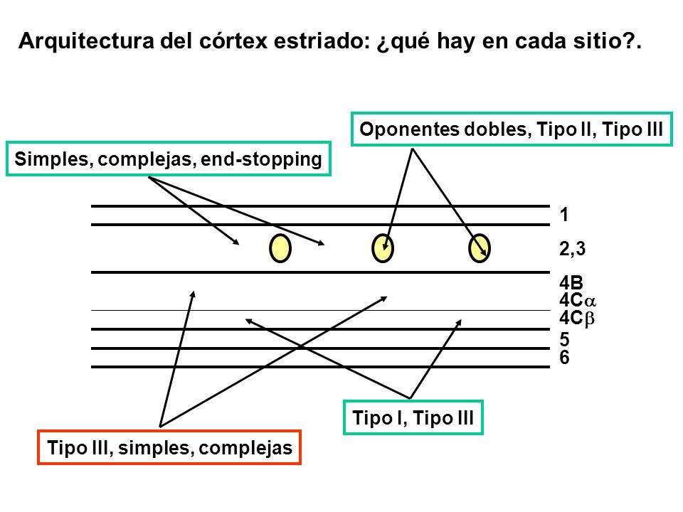 Arquitectura del córtex estriado: ¿qué hay en cada sitio .