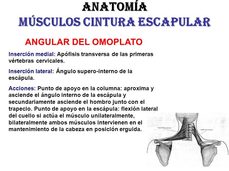 Hermosa Anatomía Omóplato Foto - Imágenes de Anatomía Humana ...
