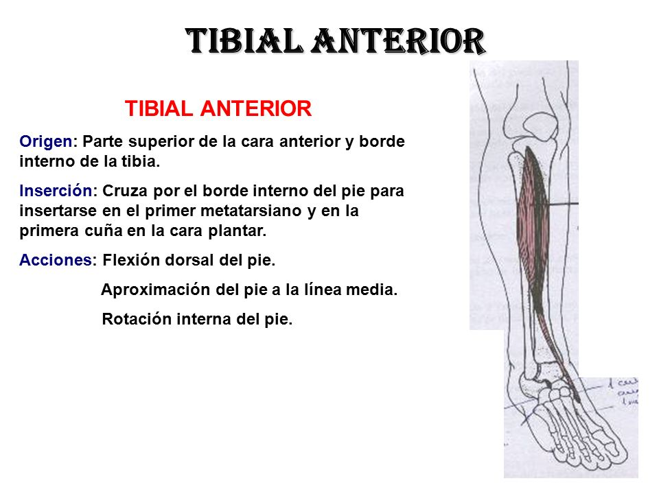 Atractivo Origen Tibial Anterior Fotos - Anatomía de Las Imágenesdel ...