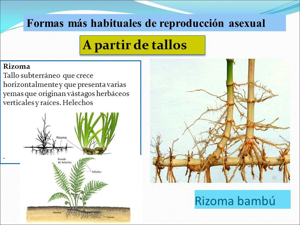 U 7 la reproducci n en las plantas ppt video online - Reproduccion del bambu ...