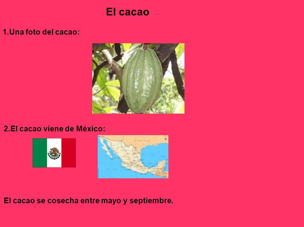 El cacao 1.Una foto del cacao: 2.El cacao viene de México: