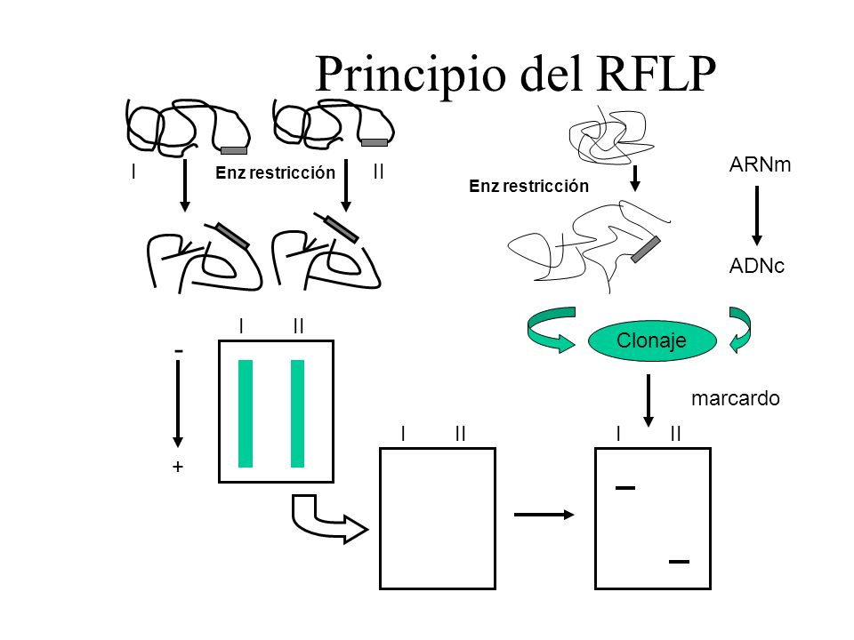 Principio del RFLP - ARNm I II ADNc I II Clonaje marcardo I II I II +