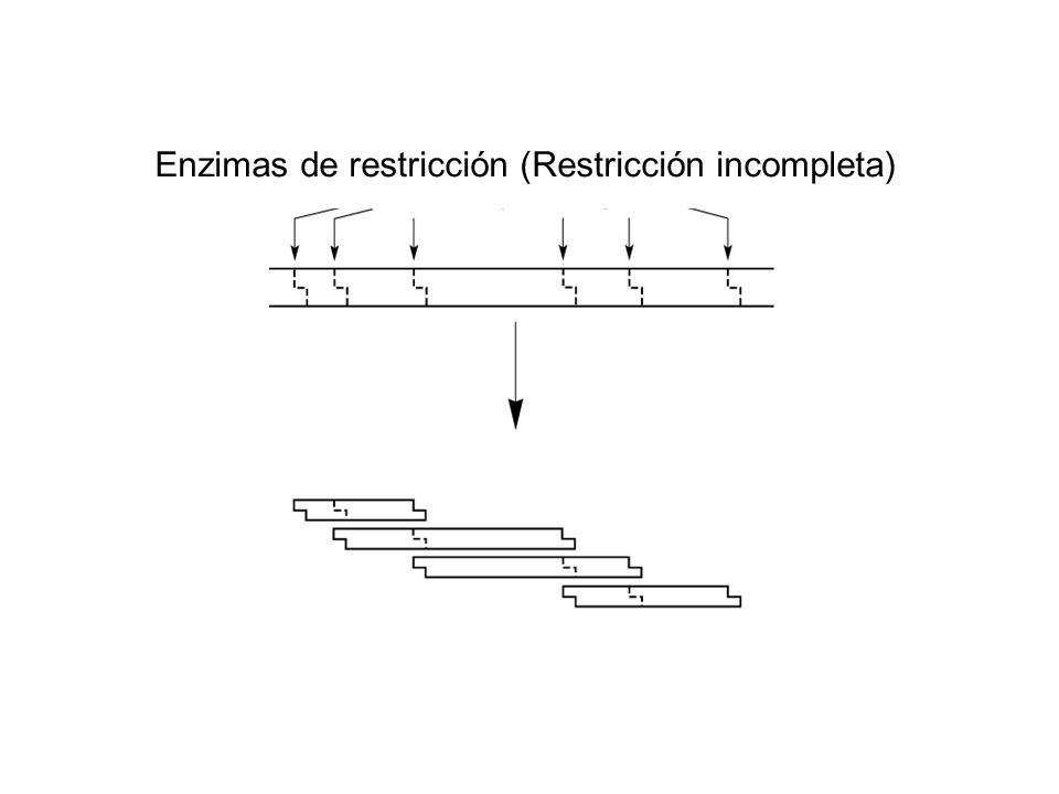 Enzimas de restricción (Restricción incompleta)