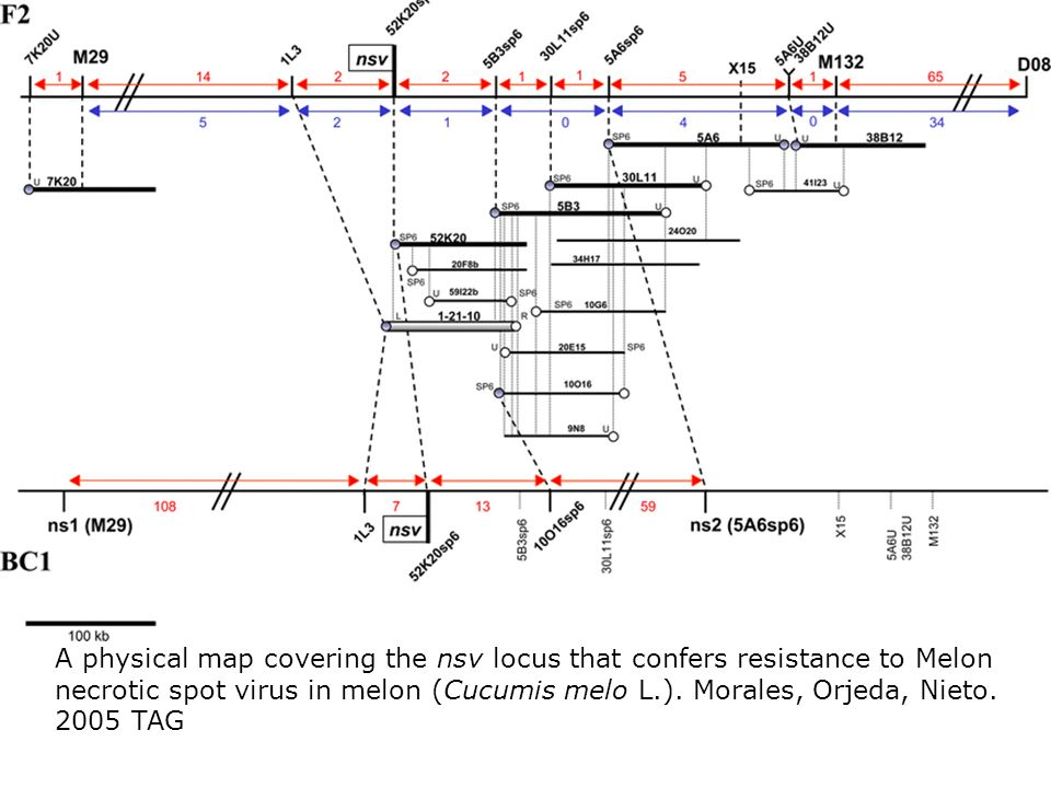 A physical map covering the nsv locus that confers resistance to Melon necrotic spot virus in melon (Cucumis melo L.).