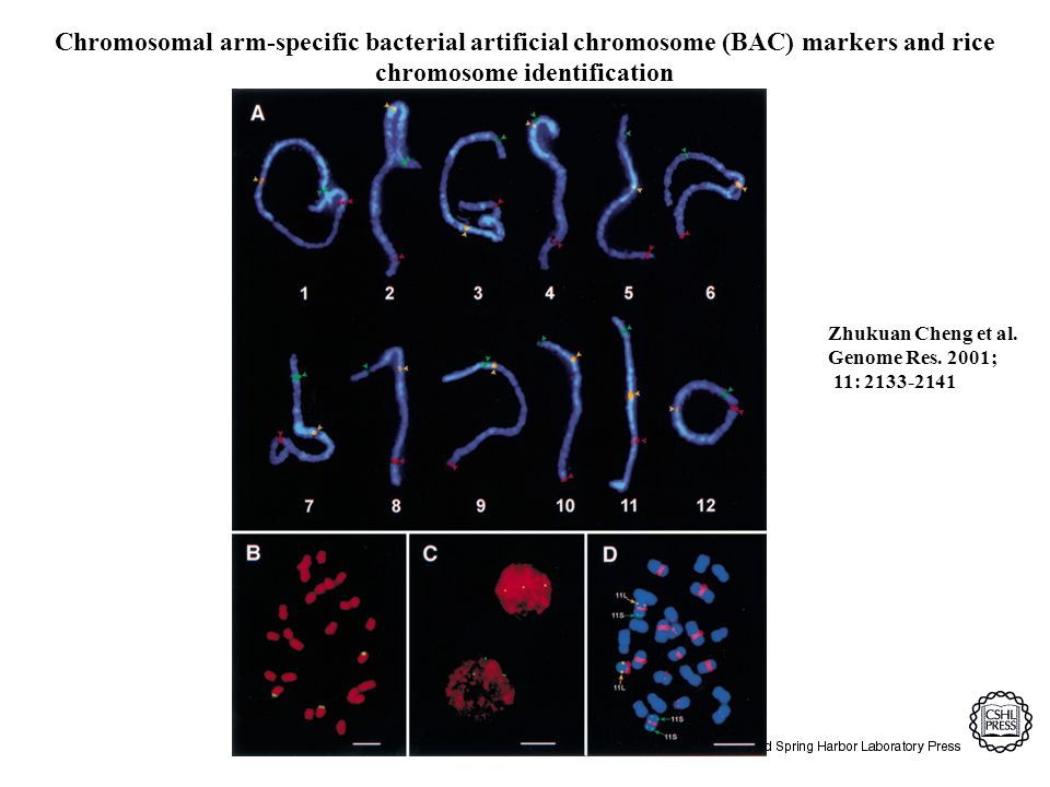 Chromosomal arm-specific bacterial artificial chromosome (BAC) markers and rice chromosome identification