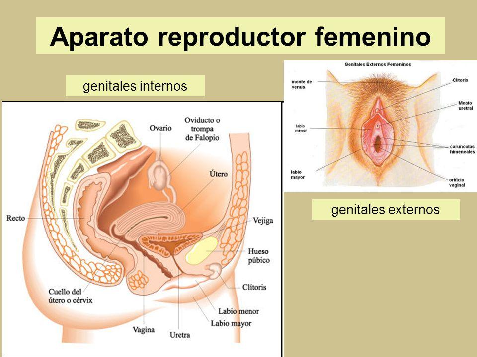 Asombroso Marcado Diagrama Del Sistema Reproductor Femenino Regalo ...