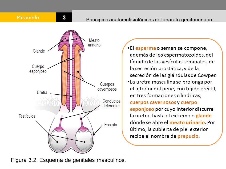 Moderno Dónde Está La Glándula Prostática Molde - Anatomía de Las ...