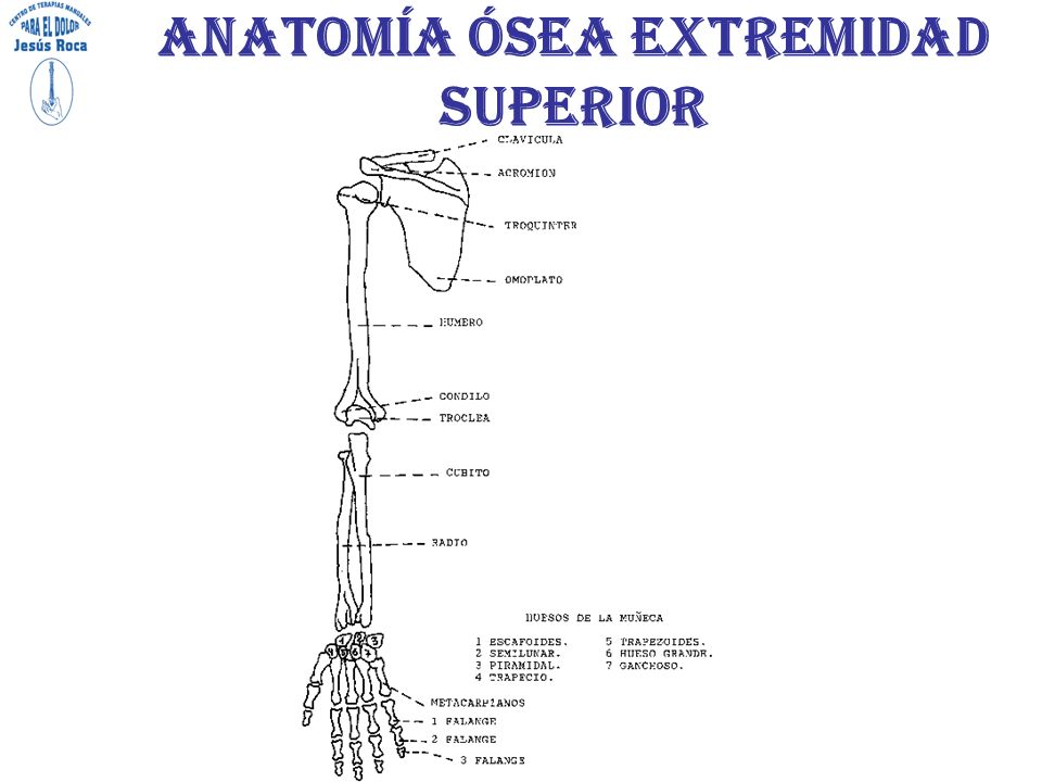 Bonito Anatomía ósea De Las Extremidades Superiores Ilustración ...