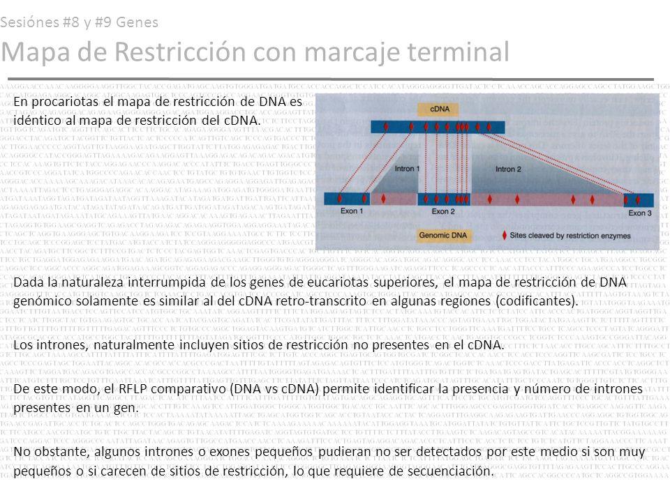 Sesiónes #8 y #9 Genes Mapa de Restricción con marcaje terminal