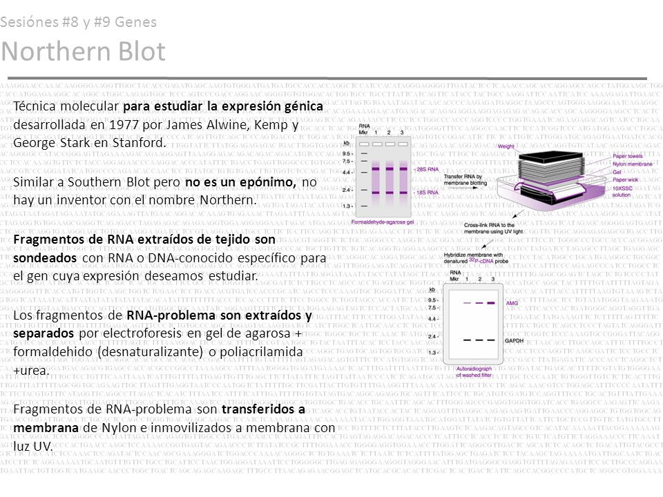 Sesiónes #8 y #9 Genes Northern Blot