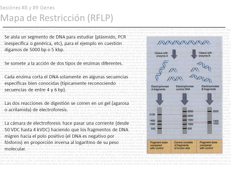 Sesiónes #8 y #9 Genes Mapa de Restricción (RFLP)