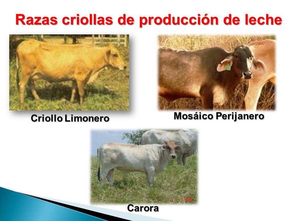Razas criollas de producción de leche