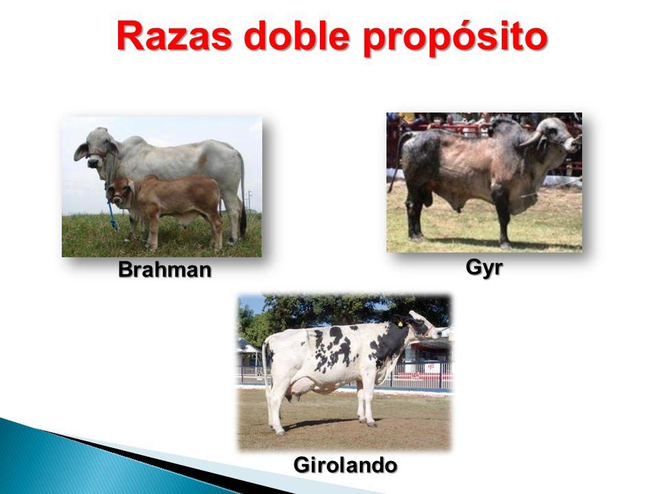 Razas doble propósito Brahman Gyr Girolando