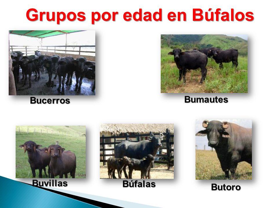 Grupos por edad en Búfalos