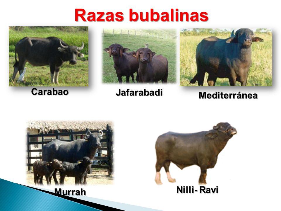Razas bubalinas Carabao Jafarabadi Mediterránea Nilli- Ravi Murrah