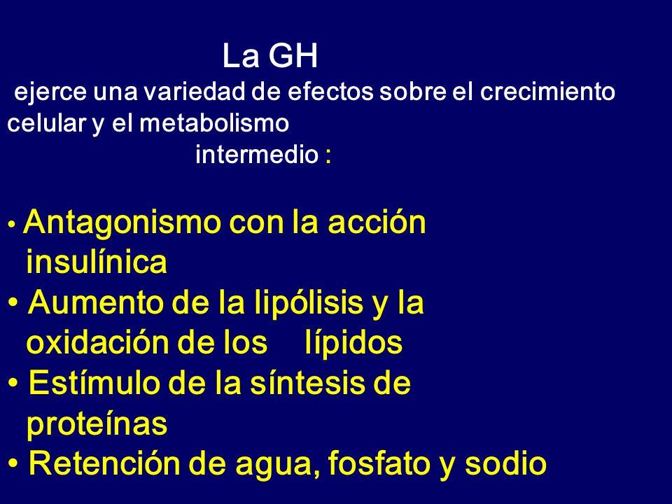 • Aumento de la lipólisis y la oxidación de los lípidos