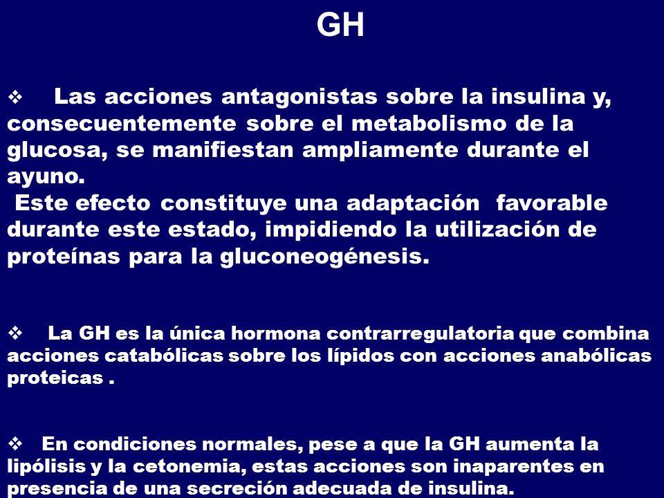 GH Las acciones antagonistas sobre la insulina y, consecuentemente sobre el metabolismo de la glucosa, se manifiestan ampliamente durante el ayuno.