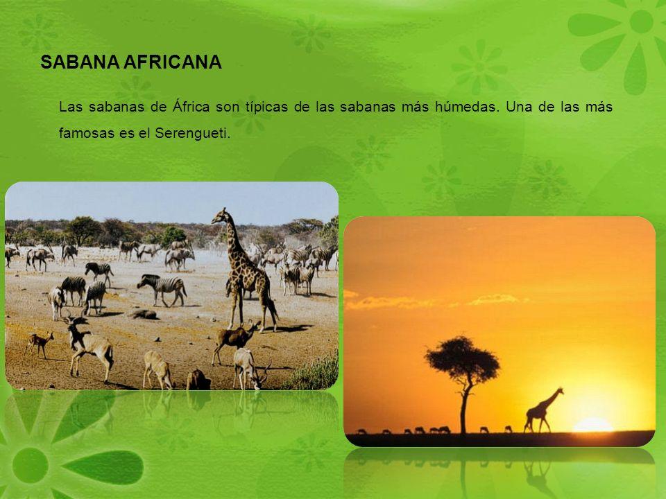SABANA AFRICANA Las sabanas de África son típicas de las sabanas más húmedas.