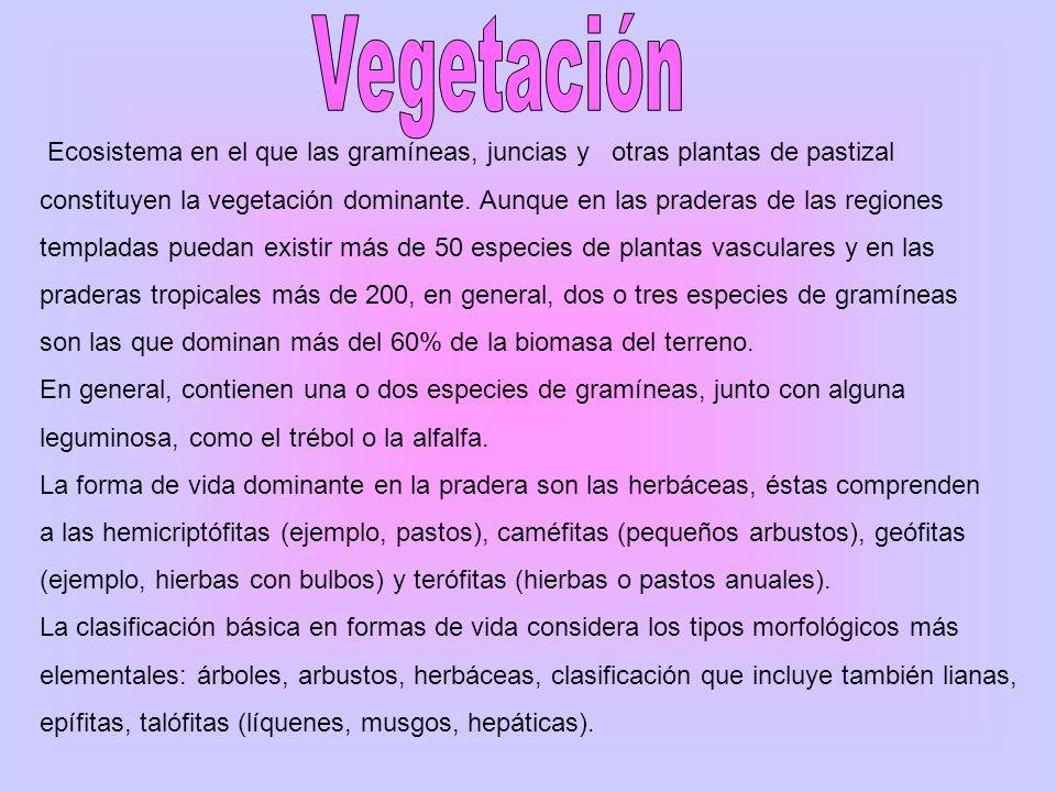 Vegetación Ecosistema en el que las gramíneas, juncias y otras plantas de pastizal.