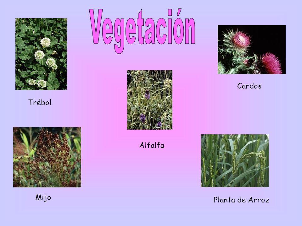 Vegetación Cardos Trébol Alfalfa Mijo Planta de Arroz