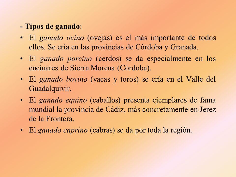 - Tipos de ganado: El ganado ovino (ovejas) es el más importante de todos ellos. Se cría en las provincias de Córdoba y Granada.