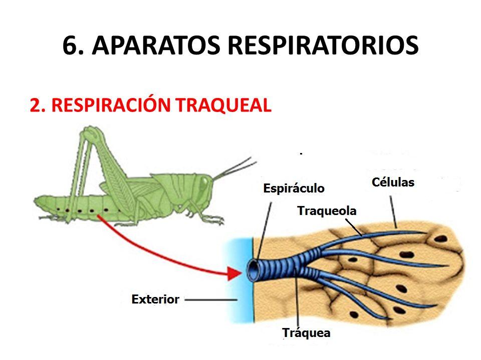 6. APARATOS RESPIRATORIOS