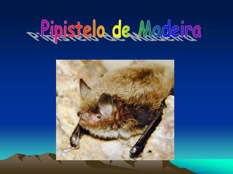 Pipistelo de Madeira