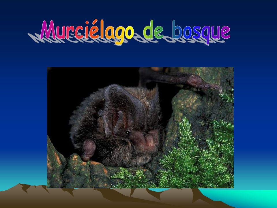 Murciélago de bosque