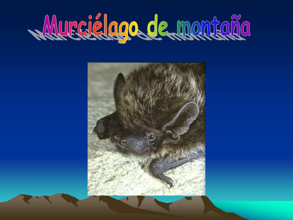 Murciélago de montaña