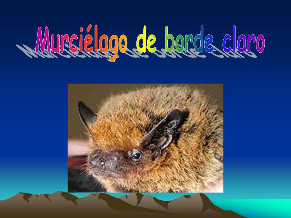 Murciélago de borde claro