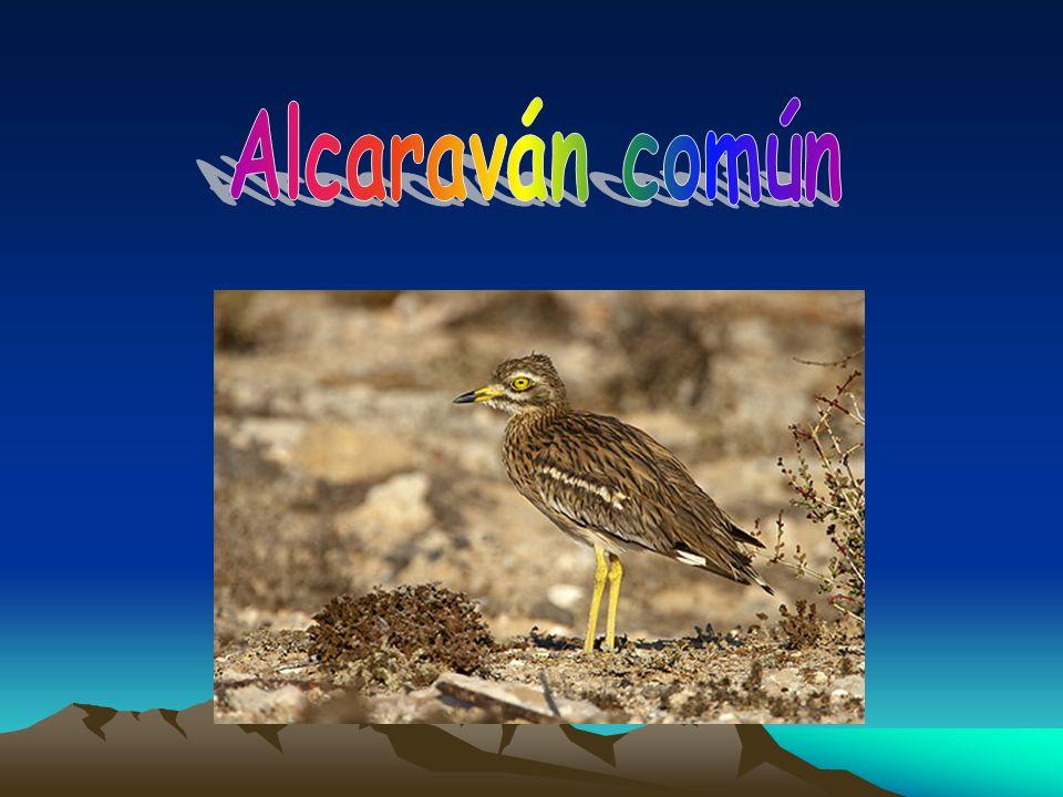 Alcaraván común