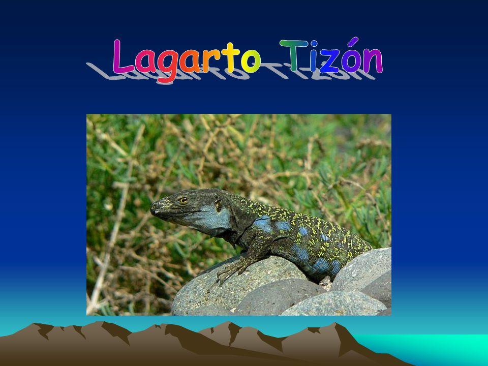 Lagarto Tizón