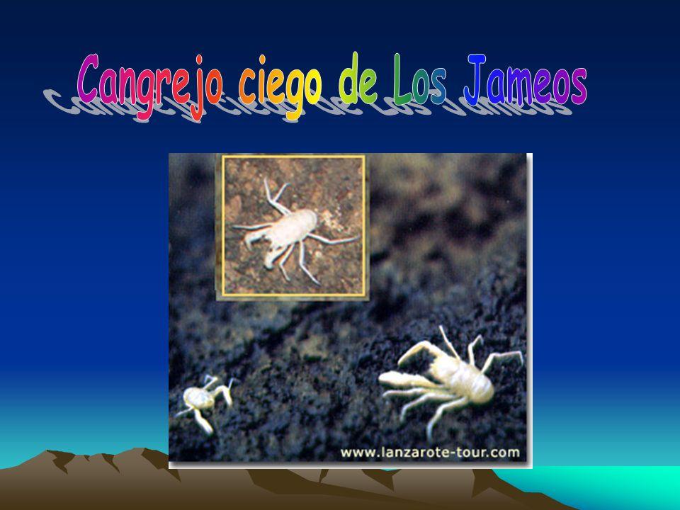 Cangrejo ciego de Los Jameos