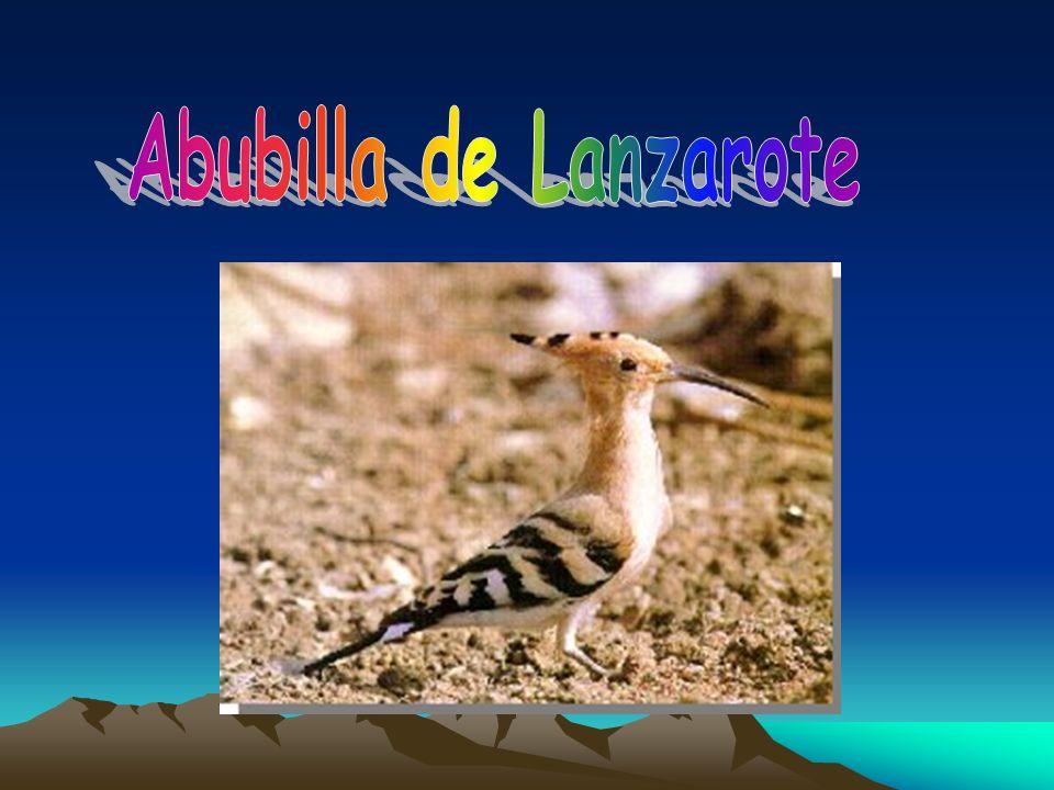 Abubilla de Lanzarote