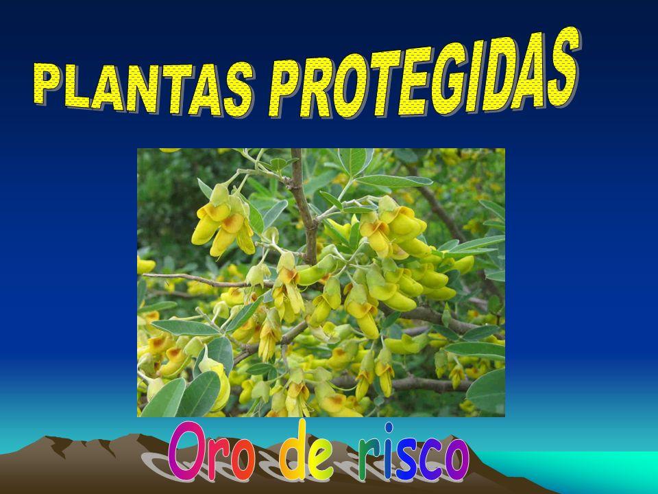 PLANTAS PROTEGIDAS Oro de risco