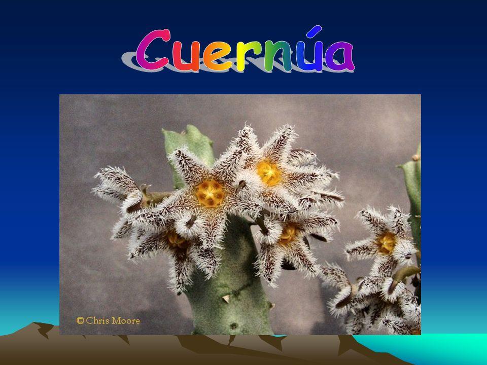 Cuernúa