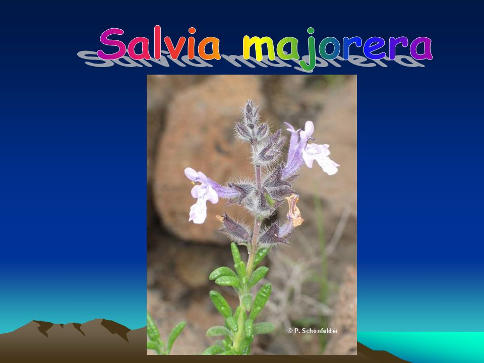Salvia majorera