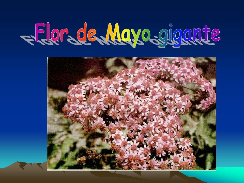 Flor de Mayo gigante