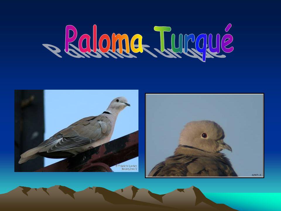Paloma Turqué