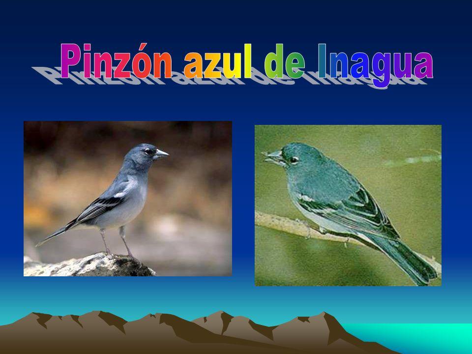 Pinzón azul de Inagua