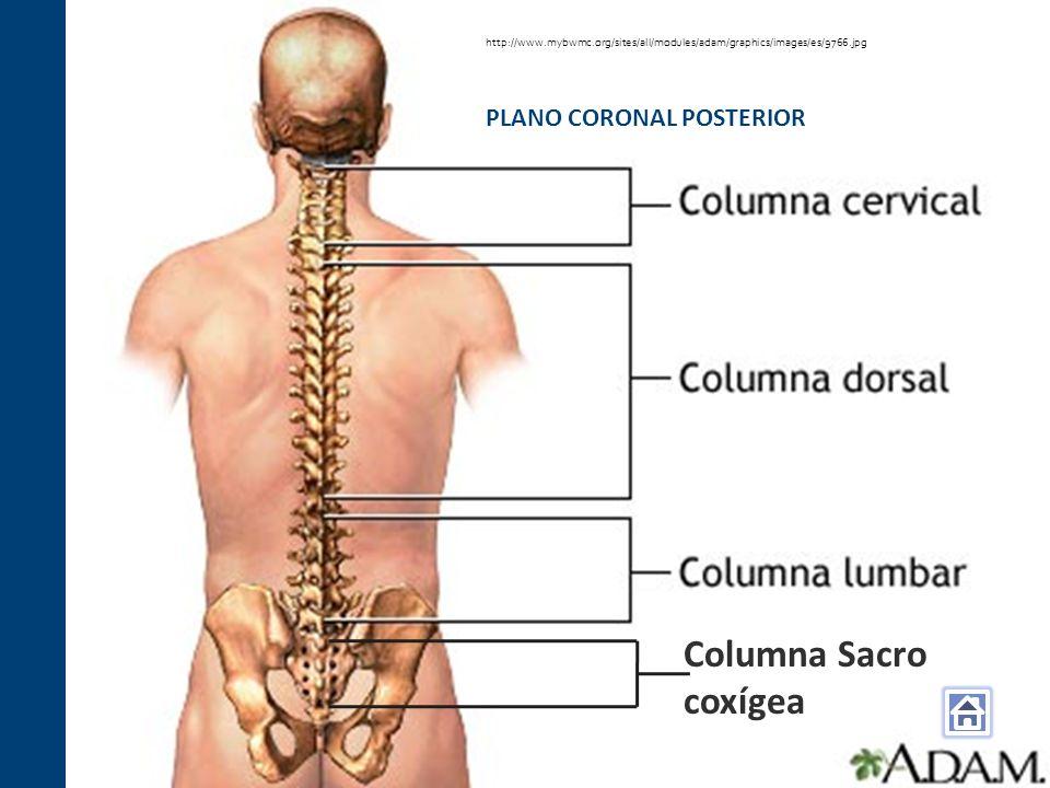 Columna Sacro coxígea PLANO CORONAL POSTERIOR