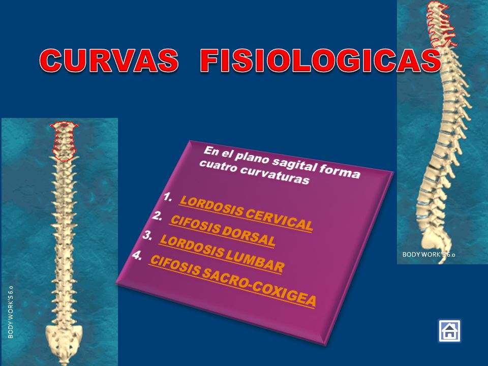 CURVAS FISIOLOGICAS En el plano sagital forma cuatro curvaturas