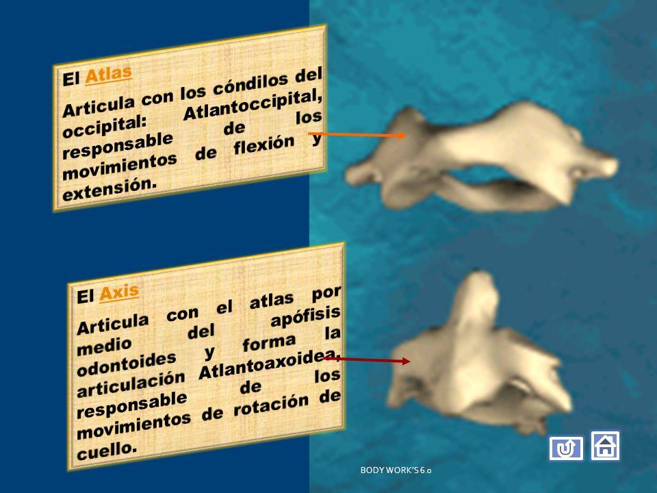 El Atlas Articula con los cóndilos del occipital: Atlantoccipital, responsable de los movimientos de flexión y extensión.
